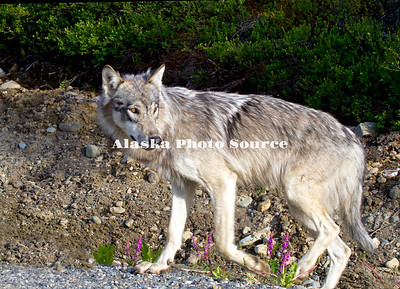 Alaska. Gray wolf (Canis lupus) walking on the edge of the Denali Park Road looking back when something caught his attention, Denali National Park.