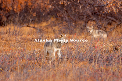 Alaska. Autumn view Gray Wolves (Canis lupus) hunting hares in grassy meadows, Denali National Park.