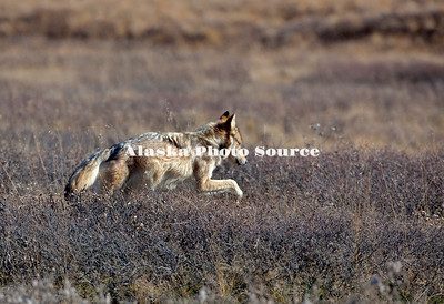 Alaska. Gray Wolf (Canis lupus) hunting for prey, Denali National Park.