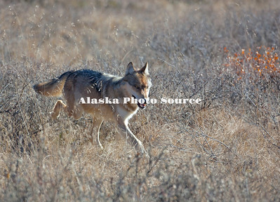 Alaska. Gray Wolf (Canis lupus) striding through autumn grasses, Denali National Park.