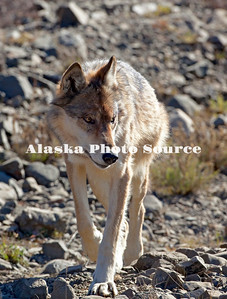Alaska. Gray Wolf (Canis lupus) walking down a dry drainage looking for prey, Denali National Park.
