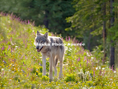 Alaska. Young Gray Wolf (Canis Lupus) walking among roadside wildflowers, Denali National Park.  (Composite)