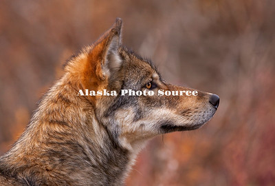 Alaska. Autumn portrait of a young Gray Wolf (Canis lupus), Denali National Park.