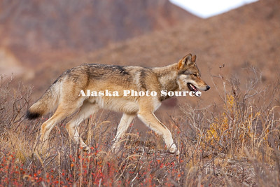 Alaska. Autumn view of a young Gray Wolf (Canis lupus) running along a ridge, Denali National Park.