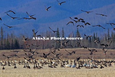 Alaska. Lesser Canada Geese (Branta canadensis), tundra swans (Cygnus columbianus), and greater white-fronted geese (Anser albifrons) migration staging in the barley fields of Delta Junction, Alaska.