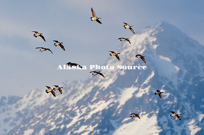 Alaska.  Canada Geese (Branta canadensis) flying with mountains in the background, during migration through the Matanuska Valley.
