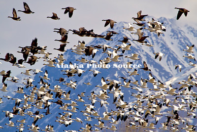 Alaska. Snow Geese (Chen caerulescens) in flight, with Canada Geese (Branta canadensis) flying in the background, during a migration stopover on Matanuska Valley fields.