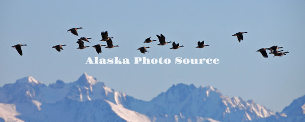 Alaska. Panorama of Lesser Canada Geese (Branta canadensis) migrating past the mountains of the Alaska Range, near Delta Junction.