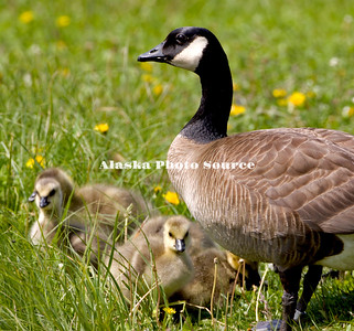 Alaska. Canada Geese (Branta canadensis) with goslings feeding along an Anchorage lake..