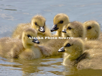 Alaska. Canada Geese (Branta canadensis) goslings huddle for safety in an Anchorage lake.