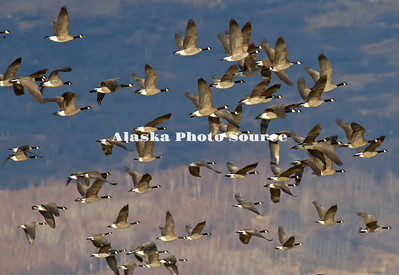 Alaska. Canada Geese (Branta canadensis) in flight during a migration stopover on Matanuska Valley fields.