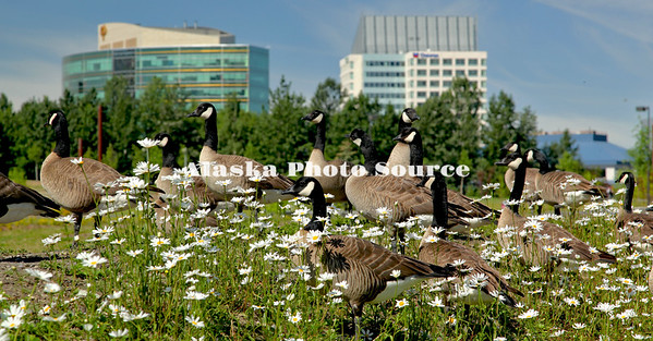 Alaska. Canada Geese and Daisies near Cutty Park, in midtown Anchorage.