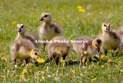 Alaska. Canada Geese (Branta canadensis) goslings feeding on dandelions along an Anchorage lake..