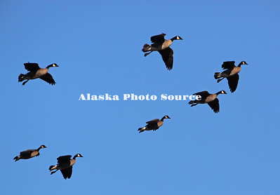 Alaska. Canada Geese (Branta canadensis) flying during spring migration in the Matanuska Valley.