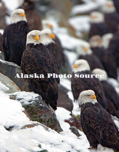 Alaska. Bald Eagles (Haliaeetus leucocephalus) on rock jetty, Homer.