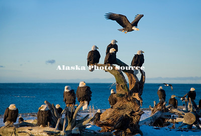 Alaska. Bald Eagles (Haliaeetus leucocephalus) on a Homer beach.