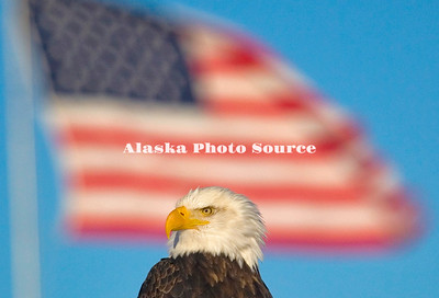 Alaska. Bald Eagle (Haliaeetus leucocephalus) sitting in front of the American flag, Homer.