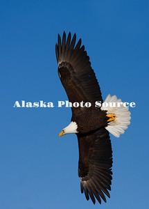 Alaska. Bald Eagle (Haliaeetus leucocephalus) wings spread, soaring overhead, Homer.