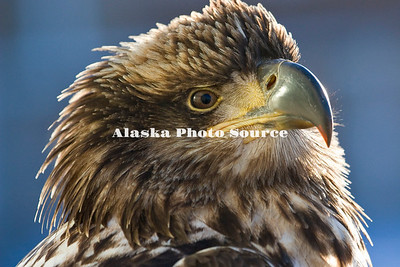 Alaska. Juvenile Bald Eagle (Haliaeetus leucocephalus) close-up portrait.