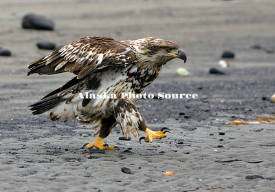 Alaska. Second year Bald Eagle (Haliaeetus leucocephalus) walking on the beach at the Homer Spit, Homer.