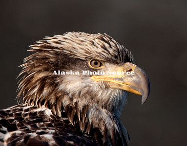 Alaska. Juvenile Bald Eagle (Haliaeetus leucocephalus) profile, Homer.