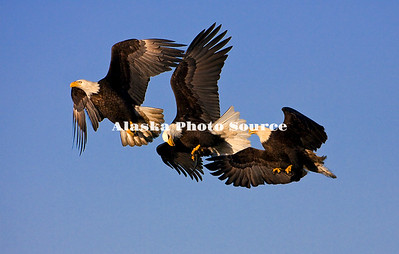 Alaska. Bald Eagle (Haliaeetus leucocephalus) mid-air interaction over fish, Homer.