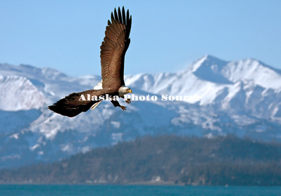 Alaska. Bald Eagle (Haliaeetus leucocephalus) in flight over Kachemak Bay, Homer.