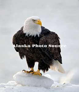 Alaska. Bald Eagle (Haliaeetus leucocephalus) resting in sea ice, Homer.