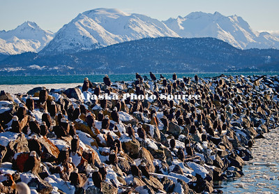 Bald Eagles blending in on the snow-covered, Homer rock jetty bounding the harbor.