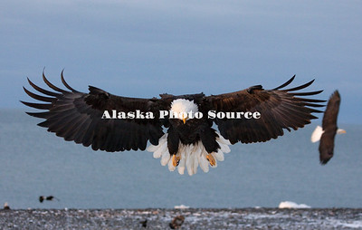 Alaska. Bald Eagle (Haliaeetus leucocephalus) wings spread in landing, Homer.