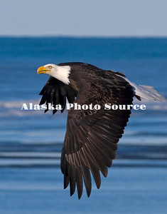 Alaska. Adult Bald Eagle (Haliaeetus leucocephalus) flying over the surfline of Kachemak Bay, Homer.