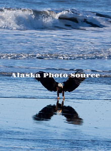 Alaska. Bald Eagle (Haliaeetus leucocephalus) reflection on Kachemak Bay beach, Homer, while landing.