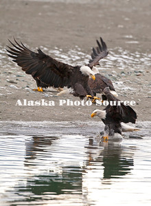 Alaska. Bald Eagles interacting over salmon in November along the Chilkat River Bald Eagle Preserve near Haines.