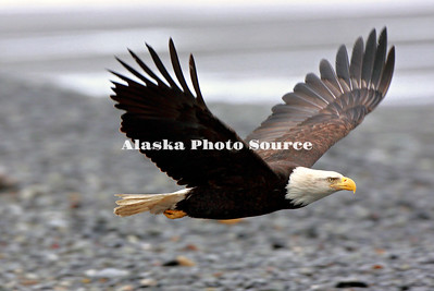 Alaska. Bald Eagle (Haliaeetus leucocephalus) flying down the beach at the Homer Spit, Homer.