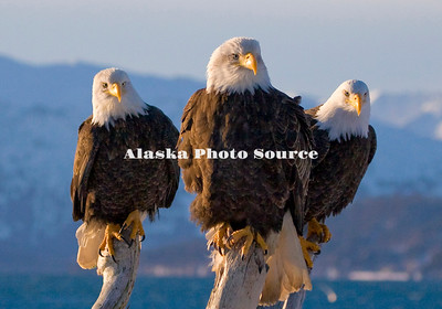 Alaska. Bald Eagles (Haliaeetus leucocephalus) resting on Kachemak Bay driftwood.