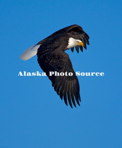 Alaska. Bald Eagle (Haliaeetus leucocephalus) aerially turning midflight to approach, Homer.