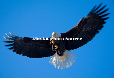 Alaska. Bald Eagle (Haliaeetus leucocephalus) eating a herring while in flight, Kachemak Bay.