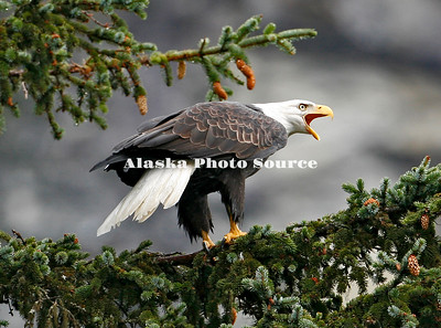 Alaska. Bald Eagle (Haliaeetus leucocephalus) claiming its territory along the Chilkoot River, Haines.