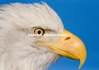Alaska. Bald Eagle (Haliaeetus leucocephalus) portrait.