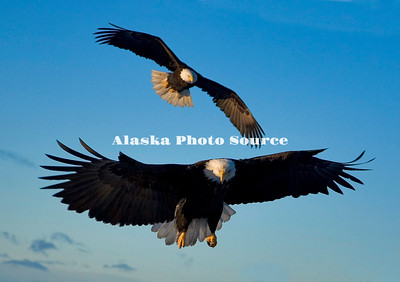 Alaska. Bald Eagles (Haliaeetus leucocephalus) approaching for a landing, Kachemak Bay.