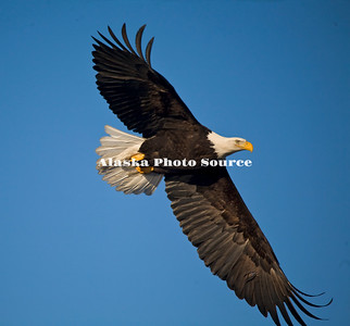 Alaska. Bald Eagle (Haliaeetus leucocephalus) with wings spread, Homer.