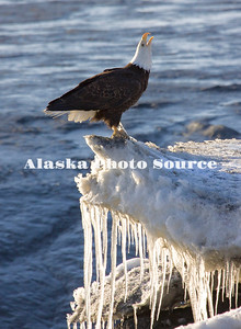 Alaska. Bald Eagle (Haliaeetus leucocephalus) alrm calling on Kenai River Ice.