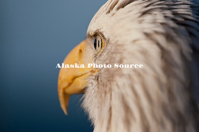 Alaska. Close-up of an adult, bald eagle emphasizing the eye, Homer.