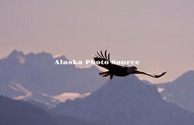 Alaska. Bald Eagle (Haliaeetus leucocephalus) silhouette in flight over Kachemak Bay, with area mountains in the background, Homer.