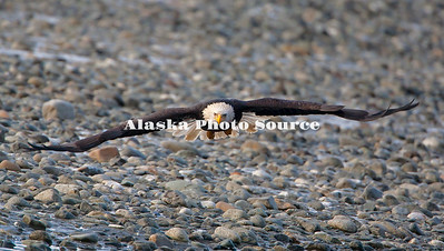 Alaska. Bald Eagle flying toward the photographer along the Chilkat River Bald Eagle Preserve near Haines.