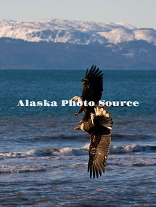 Alaska. Bald Eagle (Haliaeetus leucocephalus) aerial dispute over a fish (herring) displaying aerial aerobatics, Homer.