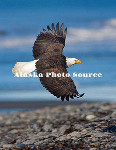 Alaska. Bald Eagle (Haliaeetus leucocephalus) flying over Kachemak Bay beach, Homer.