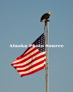 Alaska. Bald Eagle (Haliaeetus leucocephalus) sitting on flag pole, Homer.