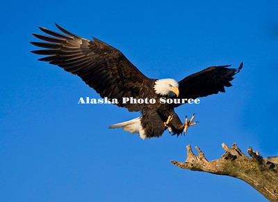 Alaska. Bald Eagle (Haliaeetus leucocephalus) landing on a snag, Kachemak Bay.