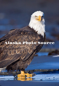 Alaska. Bald Eagle (Haliaeetus leucocephalus) standing on the beach at Kachemak Bay looking very regal, Homer.